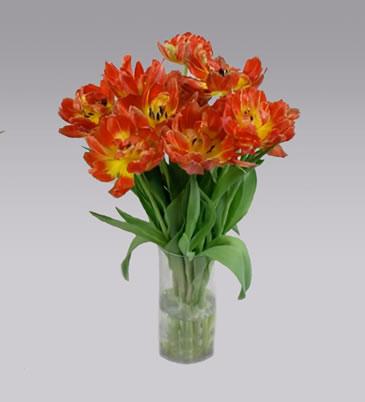 Chrysal Clear Tulipa Lale Testi